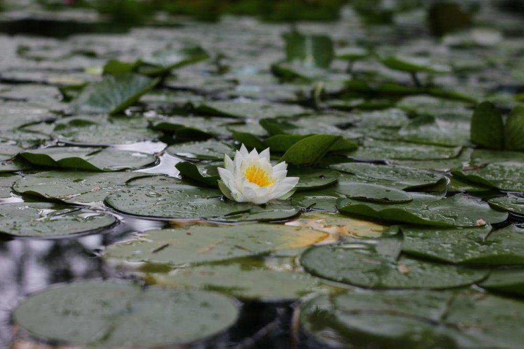 åkander og lotus i vand